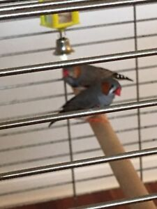 2 male finches and cage for sale