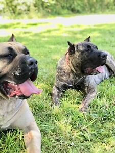 Looking for a loving home for my 2 presa canarios