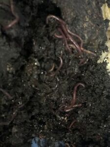 Red wiggler composting worms