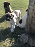 1 White male 1 white female and 1 brindle females for sale
