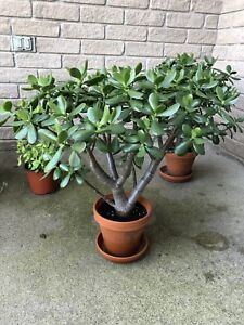 Jade Plant with clay pot