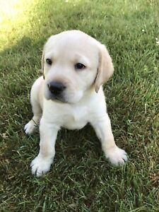 Top Quality CKC yellow Labrador retriever pups