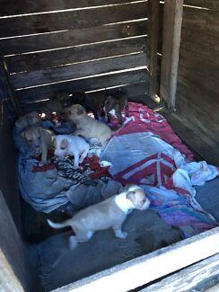 American staffy pups