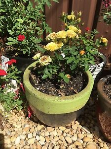 Potted minature roses Oakville Hawkesbury Area Preview