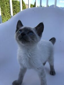 Siamese female 8 weeks ready for her forever home
