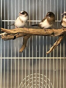 1 pair of Baby society finches