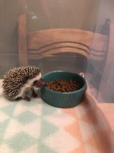 WE HAVE BABIES Hedgehogs/herisson