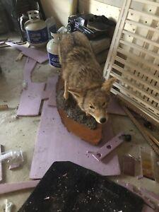 Taxidermy coyote