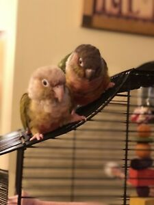 Mating Pair of Conures