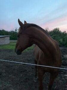 Retired Thoroughbred race horse