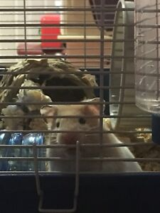 Male hamster & Cage