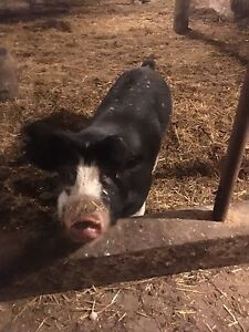 Sows and boars for sale