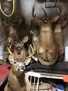 Mounted Deer Heads