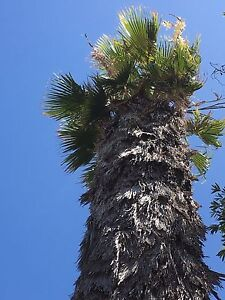 Cotton Palm tree Hamilton Hill Cockburn Area Preview
