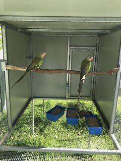 Male Princess Parrot
