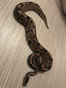 Selling ball python - Medusa - $200 FIRM