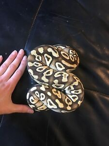 Pastave yellowbelly ball python