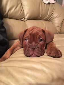 Bully Bordeaux pups - Mastiff x Bulldog 2 left