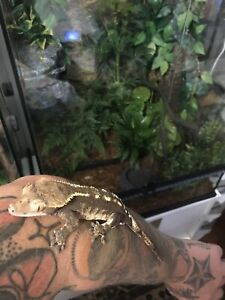 RTB Male crested gecko,Trade or sale