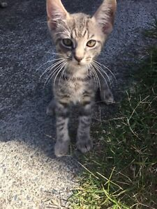 To kittens for sale $50 each