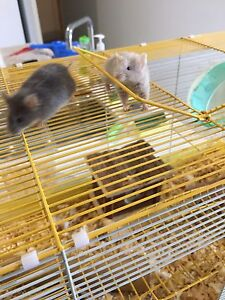 2 male mice and cage set up Balga Stirling Area Preview