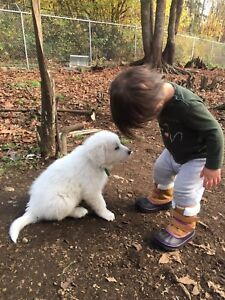 Great Pyrenees Pups ready November 25