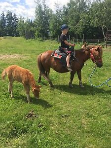 Taller miniature horse mare and baby colt for sale