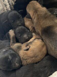 Staffy puppy's