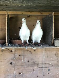 Selling high flyer pigeons