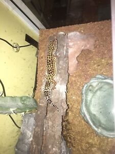 Young healthy Leopard gecko with everything you need