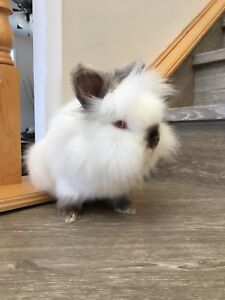 Male Loin head Bunny with Cage