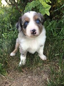 Miniature Australian Puppies