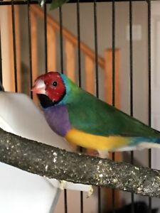 Young Gouldian finch pairs