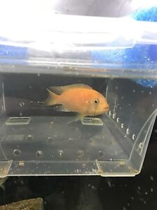 Red zebra African mbuna cichlids  2 for $15.