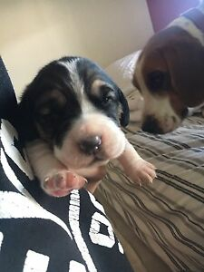 Beagle Puppies Expression of interest only Lemnos Shepparton City Preview