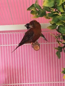 Beautiful Red canary or Pink Canary