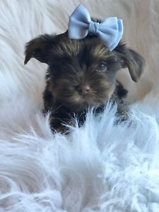 Chocolate Morkie Puppies *Last Boy Available*
