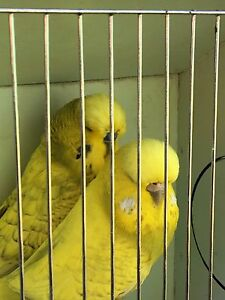 Show budgies pair Ingleburn Campbelltown Area Preview