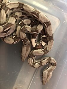 Baby Boas For Sale