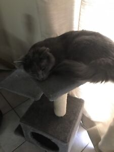 Russian blue x ragdoll cat for sale