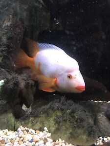 Large Red Devil Cichlid for Sale
