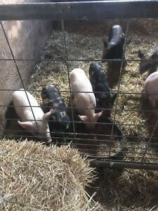 Weanling piglets