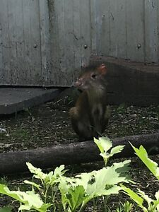Red Rumped Agouti (extremely rare opportunity)