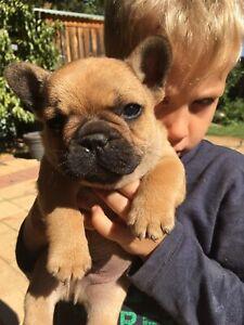 Boy French Bulldog Fawn