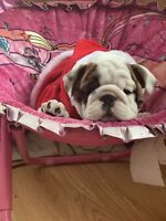 puppies English bulldog registry CKC purebred