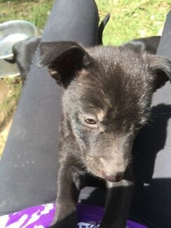 Male kelpie puppy - last one available