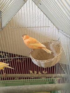 Selling my red factor canaries Rivervale Belmont Area Preview