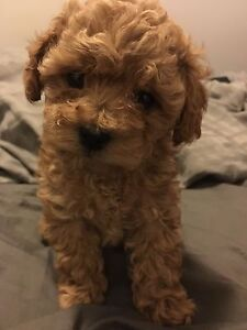 Toy size poodle :)  Last one left (female)
