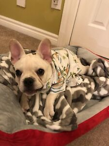 French Bulldog Pup Looking for New Home