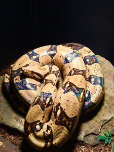Red Tail Boa   Reptiles and Amphibians in Canada   Kijiji